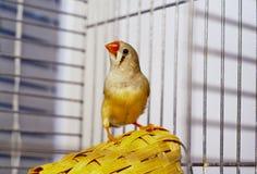 Petit oiseau de Zèbre-pinson se reposant sur un panier dans une cage Images stock