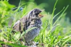 Petit oiseau drôle que le merle se repose dans l'herbe verte dedans images stock