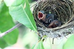 Petit oiseau fâché Photo libre de droits