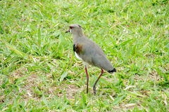 Petit oiseau jaune sur l 39 herbe photo stock image du for Petit oiseau gris