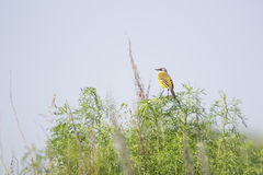 Petit oiseau jaune images libres de droits