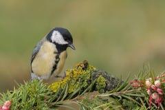 Petit oiseau jaune dans la faune Photographie stock libre de droits