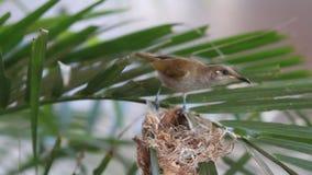 Petit oiseau jaune de ronflement banque de vidéos