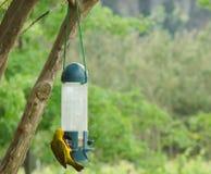 Petit oiseau jaune mangeant quelques graines d'oiseau Photo libre de droits
