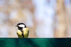 Petit oiseau jaune sur la barrière en parc Oiseau de mésange en Russie Wildlif photographie stock libre de droits