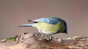 Petit oiseau - le caeruleus de Cyanistes de mésange bleue se repose sur une branche sèche banque de vidéos