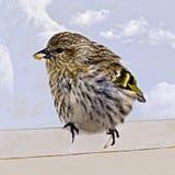 Petit oiseau mangeant la graine Image libre de droits
