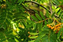 Petit oiseau mangeant les baies de couleur orange Photos stock