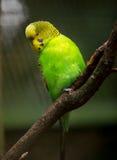 Petit oiseau mignon de perruche photo stock