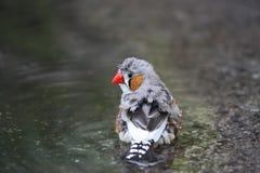 Petit oiseau minuscule appelé un pinson de zèbre Image stock