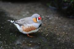 Petit oiseau minuscule appelé un pinson de zèbre Images stock