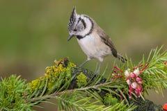 Petit oiseau noir et blanc dans la forêt Image libre de droits