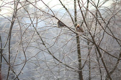 Petit oiseau pendant l'hiver froid contre le balckground Photo stock