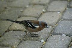Petit oiseau Pinson dans le plumage ?l?gant de ressort Ressort pouvez photographie stock