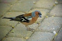 Petit oiseau Pinson dans le plumage ?l?gant de ressort Ressort pouvez images stock