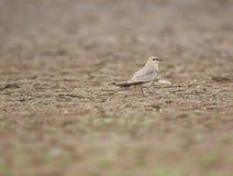 Petit oiseau pratincole Images stock