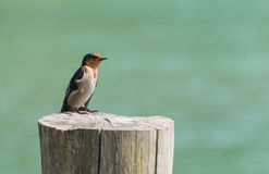 Petit oiseau sur un tronçon avec un fond vert Photographie stock