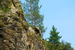 Petit ours de Brown sauvage, arctos d'Ursus, vers le haut de la colline photo stock