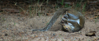 Petit pain dans l'écureuil de boule Photo libre de droits