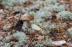 Petit pain de penny s'élevant entre la mousse décorative en bois Image libre de droits