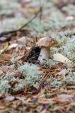 Petit pain de penny s'élevant entre la mousse décorative en bois Photos stock
