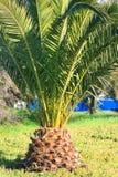 Petit palmier photographie stock libre de droits