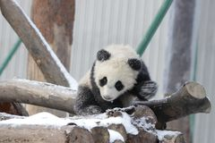 Petit Panda Cub dans la neige Photos stock
