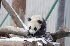 Petit Panda Cub dans la neige Photographie stock