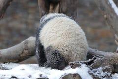 Petit Panda Cub dans la neige Images libres de droits