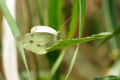 Petit papillon blanc Photo libre de droits