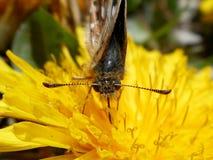 Petit papillon brun Images libres de droits