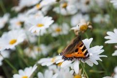 Petit papillon d'écaille sur une marguerite Photo stock