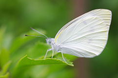 Petit papillon de blanc de chou Photo libre de droits