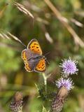 Petit papillon de cuivre Photo libre de droits