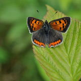Petit papillon de cuivre sur des gras verts Image stock