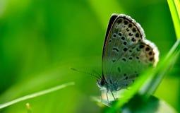 Petit papillon gris dans l'herbe Photographie stock libre de droits