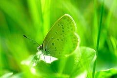 Petit papillon gris dans l'herbe Photo stock