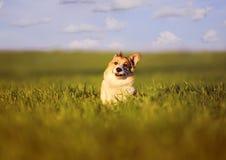 Petit papillon repos? sur la t?te du petit corgi rouge dr?le d'un chiot de chien sur un pr? vert dans l'herbe une journ?e de prin image libre de droits