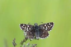 Petit papillon se reposant sur un Veronica de fleur photo libre de droits