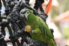 Petit perroquet vert Image stock