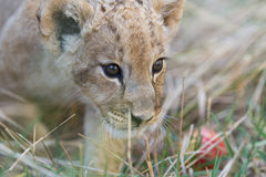 Petit petit animal de lion dans l'herbe Image libre de droits