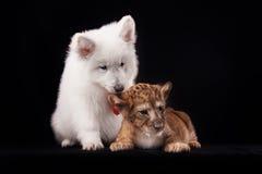 Petit petit animal de lion et chiot blanc Images stock