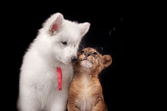 Petit petit animal de lion et chiot blanc Photo libre de droits
