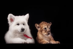 Petit petit animal de lion et chiot blanc Photo stock
