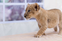 Petit petit animal de lion mignon Image stock
