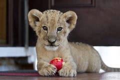Petit petit animal de lion mignon jouant avec une boule Images stock