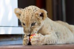 Petit petit animal de lion mignon mordant une boule Photographie stock