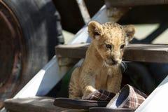 Petit petit animal de lion mignon se reposant sur les escaliers Image stock