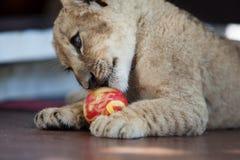 Petit petit animal de lion plaiying avec une boule Image stock