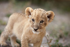 Petit petit animal de lion regardant dans l'appareil-photo Images stock